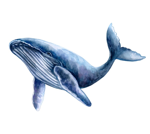 Blue whale isolated on a white background watercolor illustration template closeup
