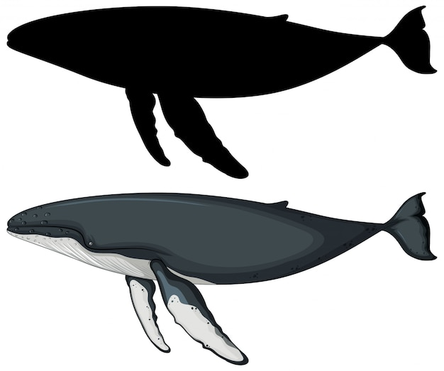 Blue whale with its silhouette