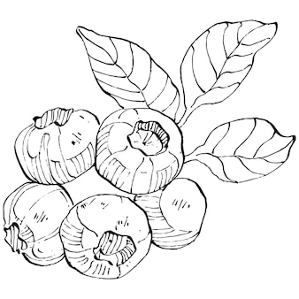 Blueberry hand drawing vintage