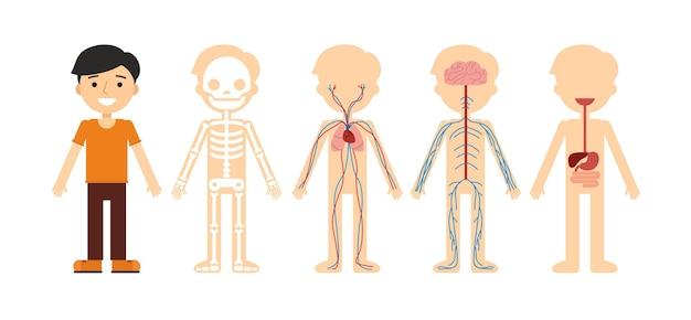Body anatomy human skeleton circulatory system nervous system and digestive system