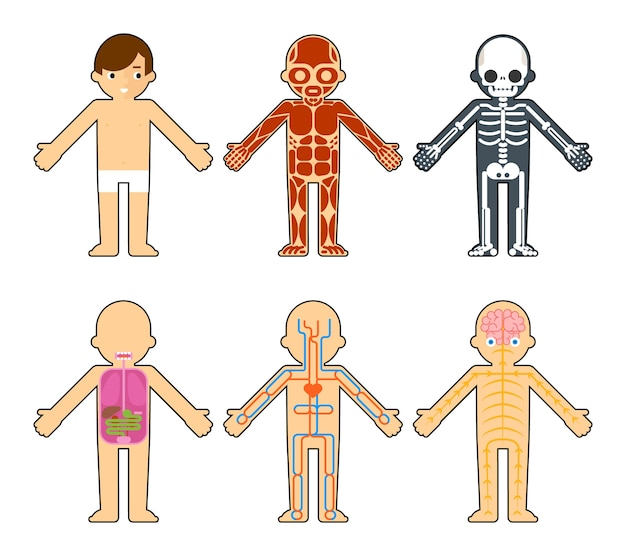 Body anatomy for kids. the skeleton and muscles, nervous system and circulatory system