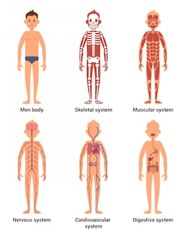 Body anatomy of men