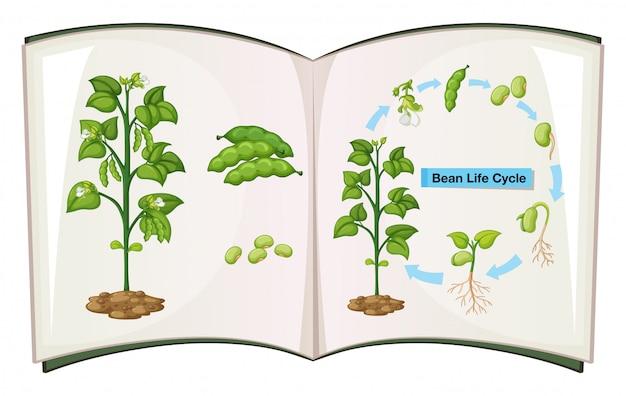 Книга жизненного цикла бобов Бесплатные векторы