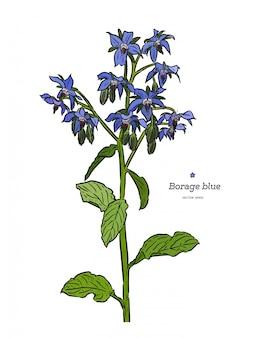 Бурачник (borago officinalis), или звездный цветок, нарисованный от руки. старинные лекарственные травы и специи. синие цветы и бутоны ретро набор. ботанический красочный вектор