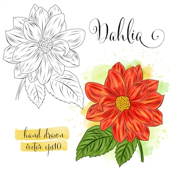 Botanical art watercolor dahlia flower