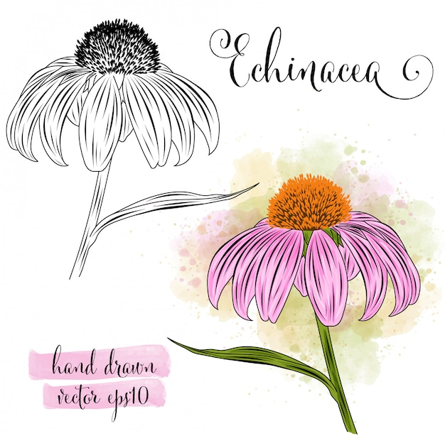 Botanical art watercolor echinacea flower