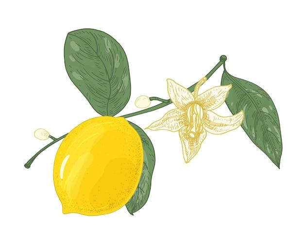 Ботанический рисунок ветви лимонного дерева с цветами, бутонами и листьями, изолированные на белом фоне