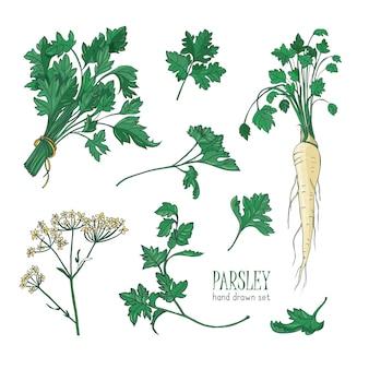 파슬리 잎, 꽃 또는 꽃이 핌과 뿌리의 식물 그림. 흰색 배경에 분리된 향신료나 조미료로 요리에 사용되는 식물. 현실적인 다채로운 손으로 그린 벡터 일러스트 레이 션.