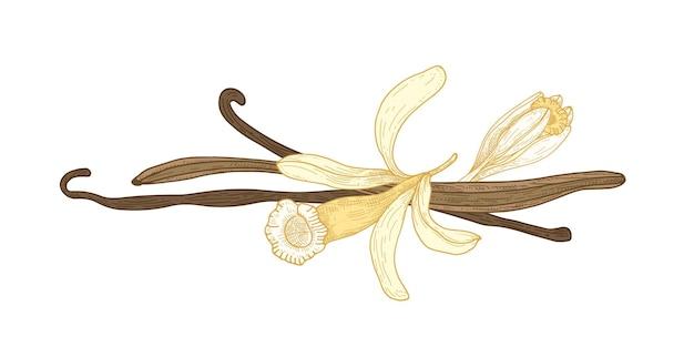 바닐라 꽃 또는 꽃과 과일 또는 고립 된 포드의 식물 그림