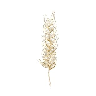 밀 귀 또는 흰색 절연 씨앗 spikelet의 식물 도면. 재배 식물, 곡물 또는 식량 작물
