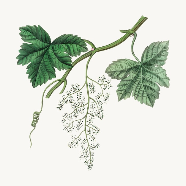 Botanical grape vine illustration