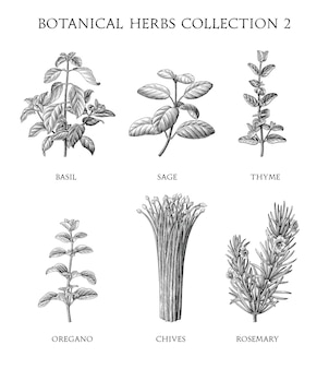 Коллекция ботанических трав рисовать стиль гравировки