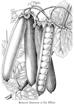 Botanical illustration of pea engraving vintage black and white clip art isolated
