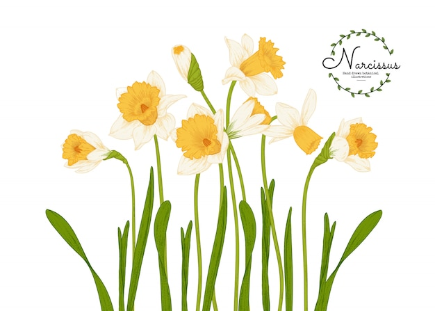 Botanical illustrations, daffodil or narcissus flower drawings.