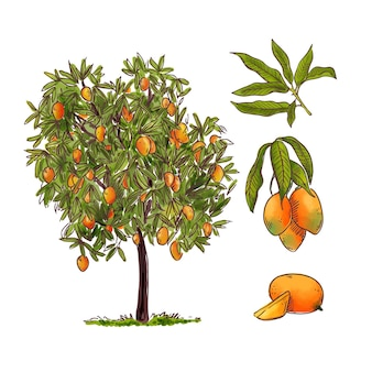 Botanical mango tree illustration