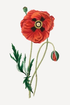 Botanical poppy flower illustration