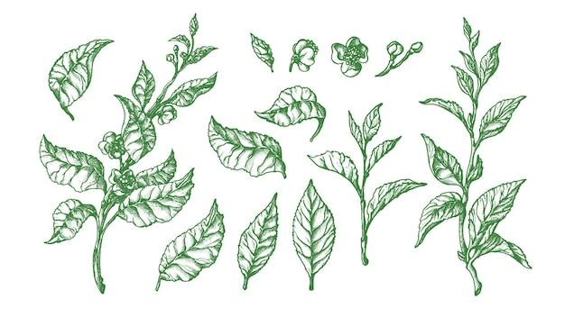 Ботанический набор. форма чайной буч. нарисованная рукой винтажная иллюстрация