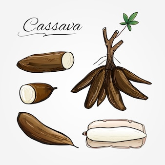 Botanical vector of cassava plant in cartoon style.