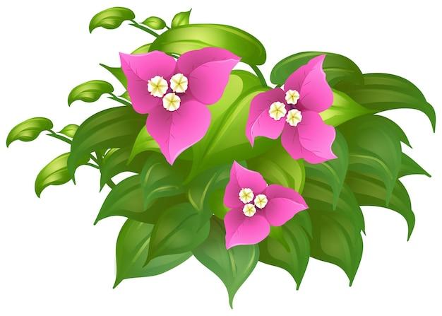 Бугенвиллия в розовом цвете