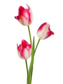 흰색 바탕에 튤립 꽃다발입니다.