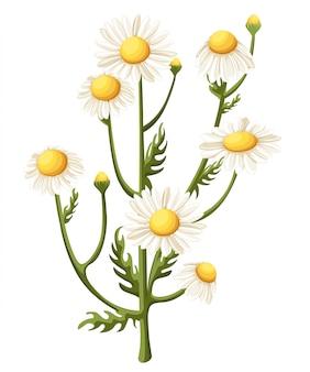 白い背景のブーケ現実的なデイジー、カモミールの花。イラストカードカモミールティー医療イラスト