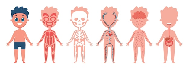 Boy body anatomy human muscular skeletal circulatory nervous and digestive systems vector set