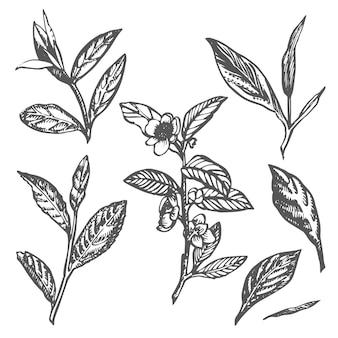 Филиал и чайные листья зеленый чай вектор рисованной иллюстрации