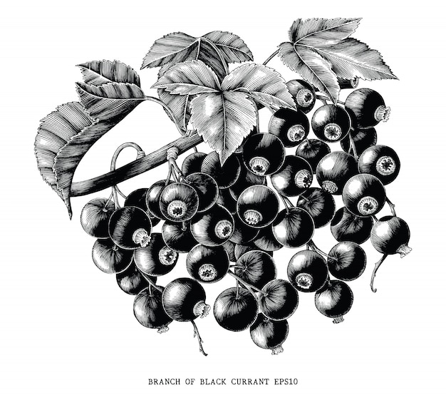 Branch of black currant botanical vintage engraving illustration isolated on white background