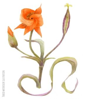 Branch of calochortus kennedyi