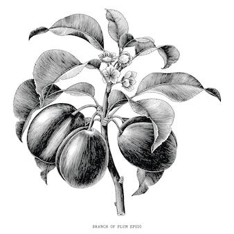 Филиал сливы ботанические старинные гравюры иллюстрации на белом фоне