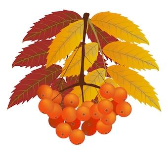 赤と黄色の葉を持つナナカマドの果実の枝。秋、秋。