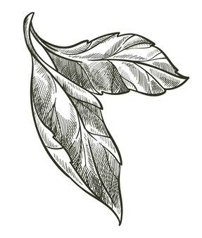 잎이 있는 가지, 고립된 꽃 잎, 무색 꽃 구성. 식물의 흑백 스케치 개요