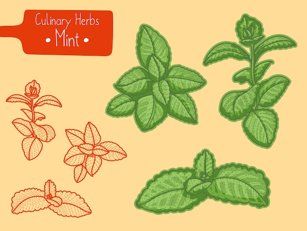 Branches of culinary herb mentha