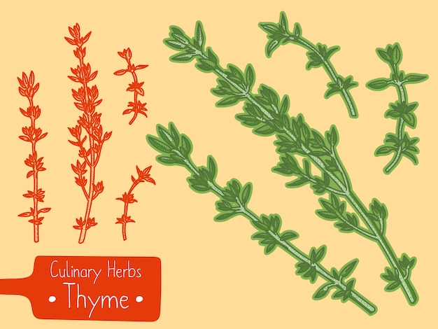 Branches of culinary herb thyme