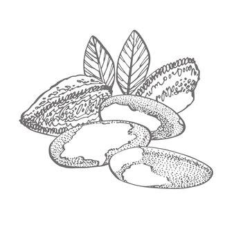 Бразильский орех набор рисованной эскизы на белом фоне. винтаж с орехами, листья, ветви.