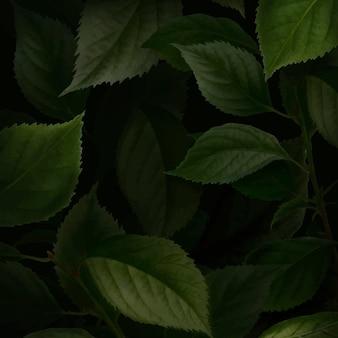 ブライアンソンアプリコットの葉の背景
