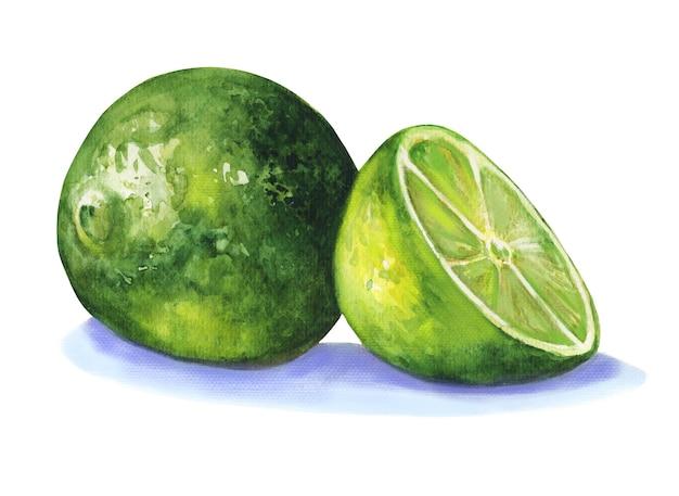 밝은 녹색 coloired 라임 슬라이스는 aqaurelle에 그려진 손을 잘라냅니다.