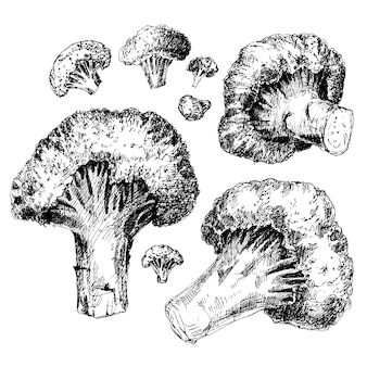 Broccoli drawing set engraving style