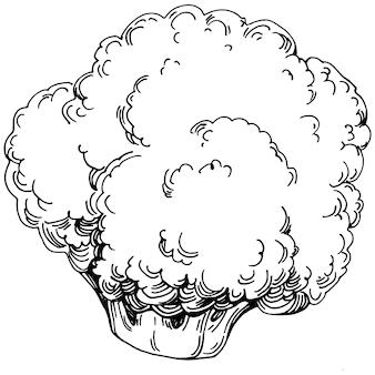 Брокколи изолированные рисованной иллюстрации. овощной гравированный стиль. эскиз рисунка вегетарианской пищи. продукт фермерского рынка. лучшее для дизайна логотипа, меню, этикетки, значка, штампа.