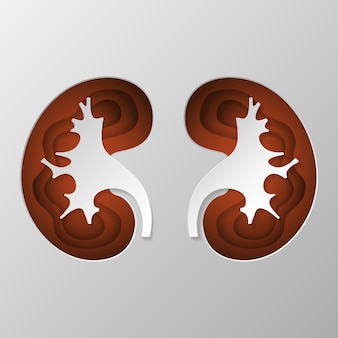 The brown silhouette of the kidney is carved on paper.