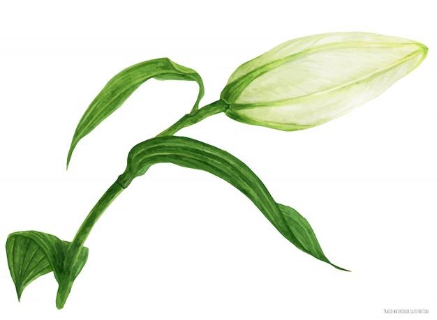 オリエンタルリリーの芽を描いた水彩画