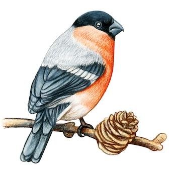 Bullfinch  hand drawn watercolor pencil bird