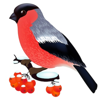 Bullfinch sitting on the mountain ash branch, isolated on white background,