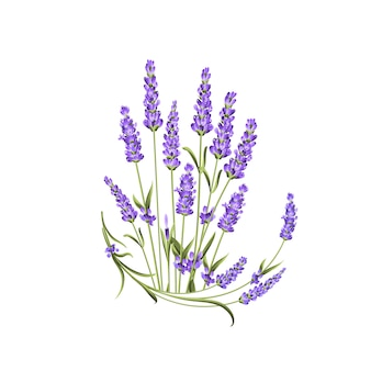 Bunch of lavender flowers on white