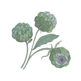 緑のつぼみ、茎、葉が孤立したアーティチョークの束