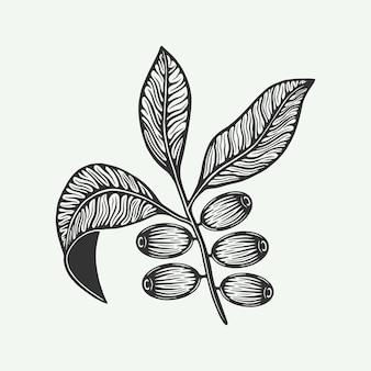 커피 잎 콩의 무리 목 판화 스타일의 빈티지 복고 그림 로고에 사용할 수 있습니다.