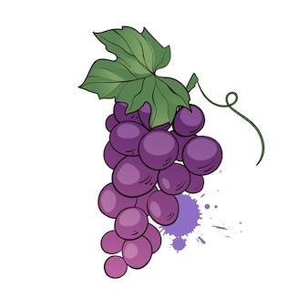 Гроздь фиолетового винограда с листьями. рисованной иллюстрации в мультяшном стиле
