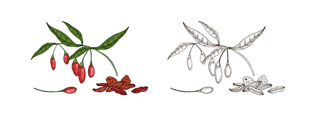 신선하고 말린 구기 열매의 다채로운 단색 그림 번들