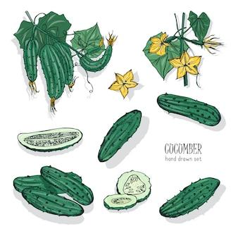 キュウリ全体とカットの詳細な描画のバンドル。おいしい新鮮な熟したジューシーな野菜、おいしいベジタリアンやビーガンスナックは、白い背景で隔離。手描きのリアルなイラスト。