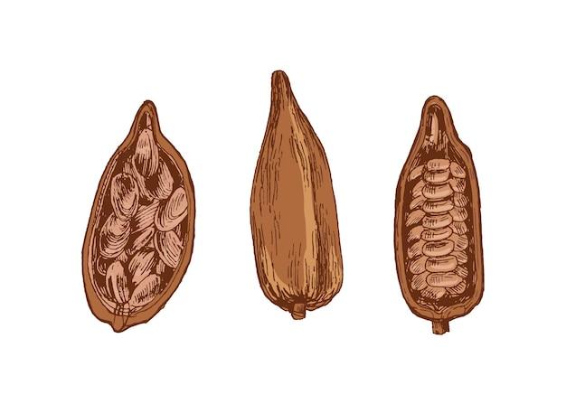白い背景に分離された豆と熱帯のカカオの木の全体とカットの熟したポッドまたはフルーツの詳細な図面のバンドル。エレガントなビンテージスタイルで手描きの装飾的なベクトルイラスト。